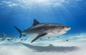 Picture of Notch - the Tiger Shark