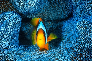Picture of Clownfish in blue anémon