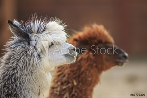 Picture of alpaca