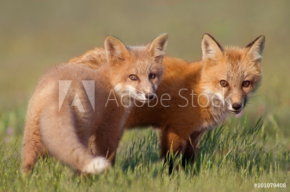 Picture of Animal Friends.   Two young Foxes playing together in field