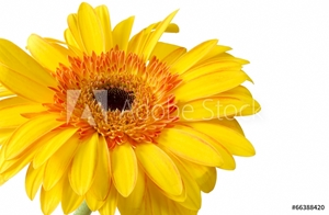 Picture of Bright yellow and orange gerbera on white