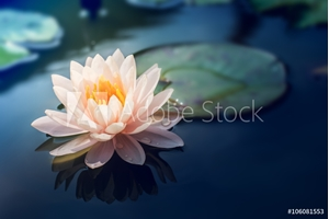 Picture of A beautiful pink waterlily or lotus flower in pond