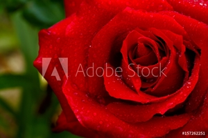 Picture of Beautiful red rose closeup.