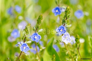 Picture of Blue wildflowers at the meadow