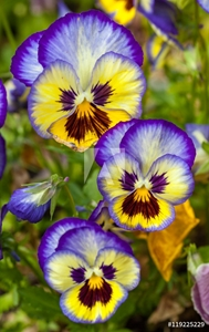 Picture of Blue-yellow pansies