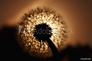 Picture of beautiful big dandelion silhouette in the sunset light