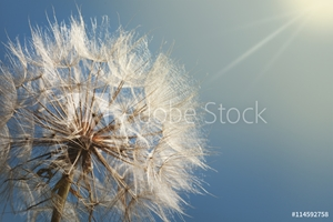 Picture of big dandelion on a blue background