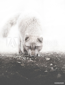 Picture of Arctic Foxy