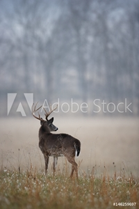 Picture of A White-tailed Deer Buck In Morning Fog