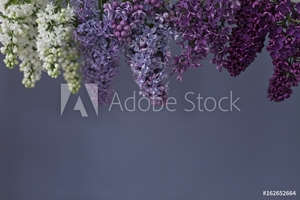 Picture of Lilac flowers in various shades of purple
