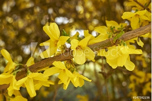 Picture of  Forsythia