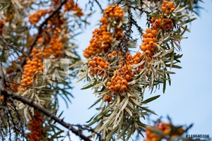 Picture of berries of sea buckthorn on a branch against the blue sky