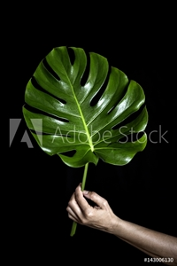 Picture of A person holding big leaf